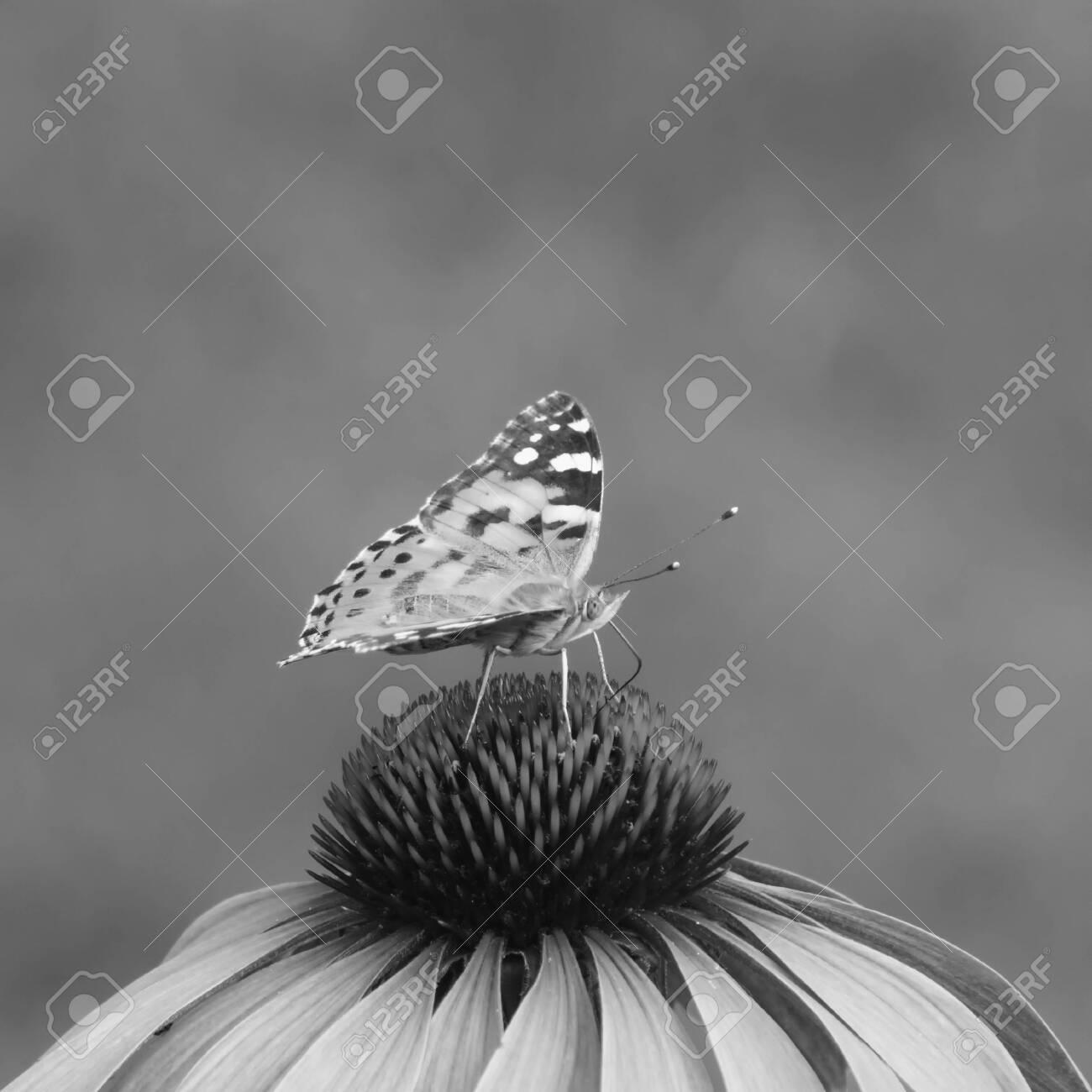 close-up of a painted lady (Vanessa cardui) on the blossom of a coneflower, monochrome image - 148032648