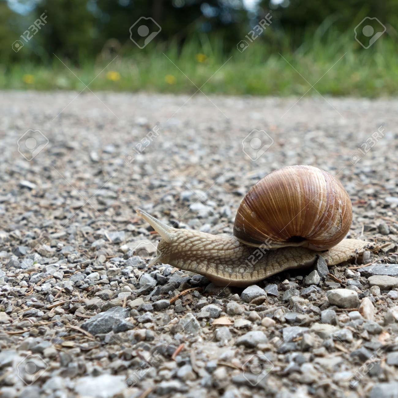 Close-up of an edible snail, helix pomatia - 156533157