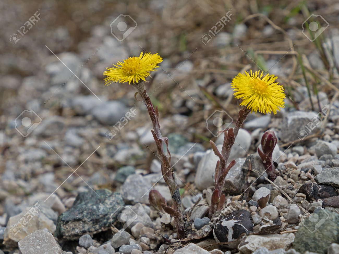 close-up of the blossoms of a coltsfoot, Tussilago farfara - 156533164
