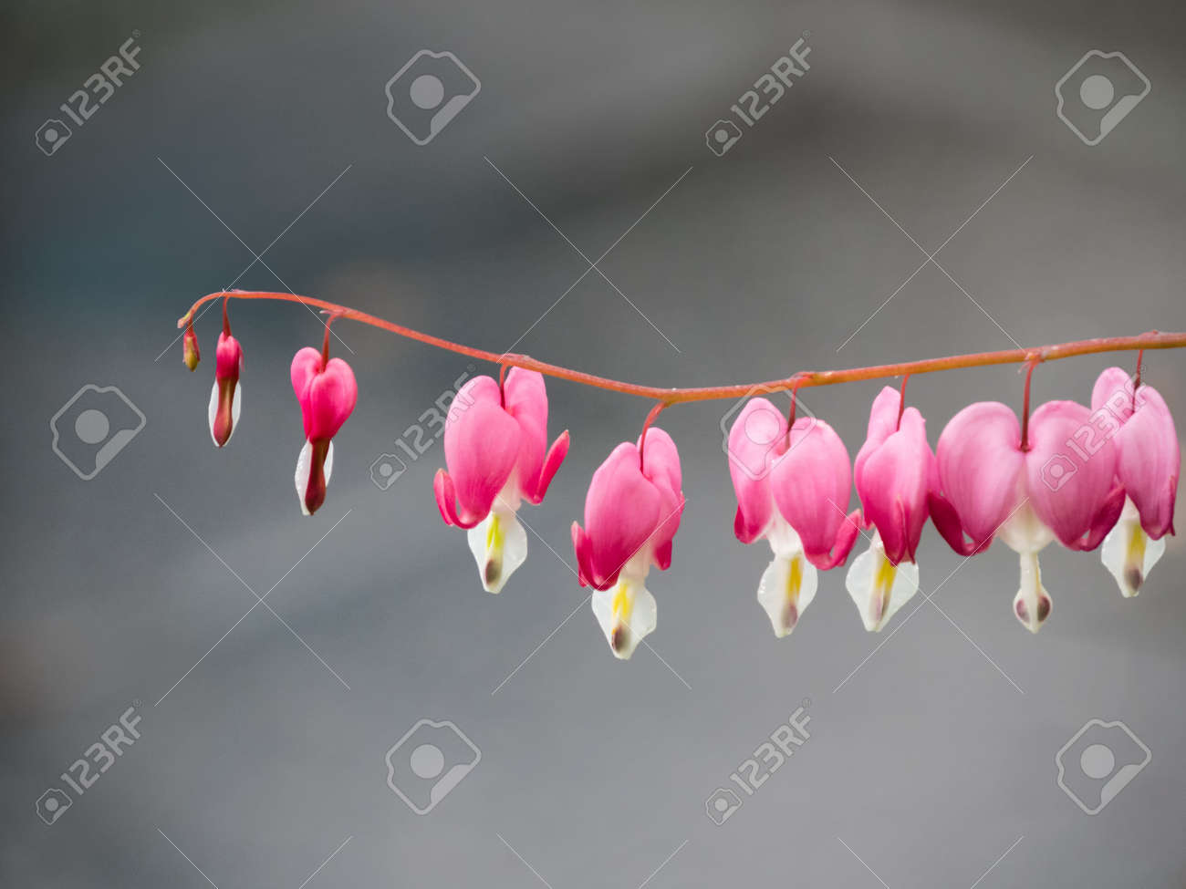 Close-up of the blossoms of the plant bleeding heart (Lamprocapnos spectabilis) - 156533163