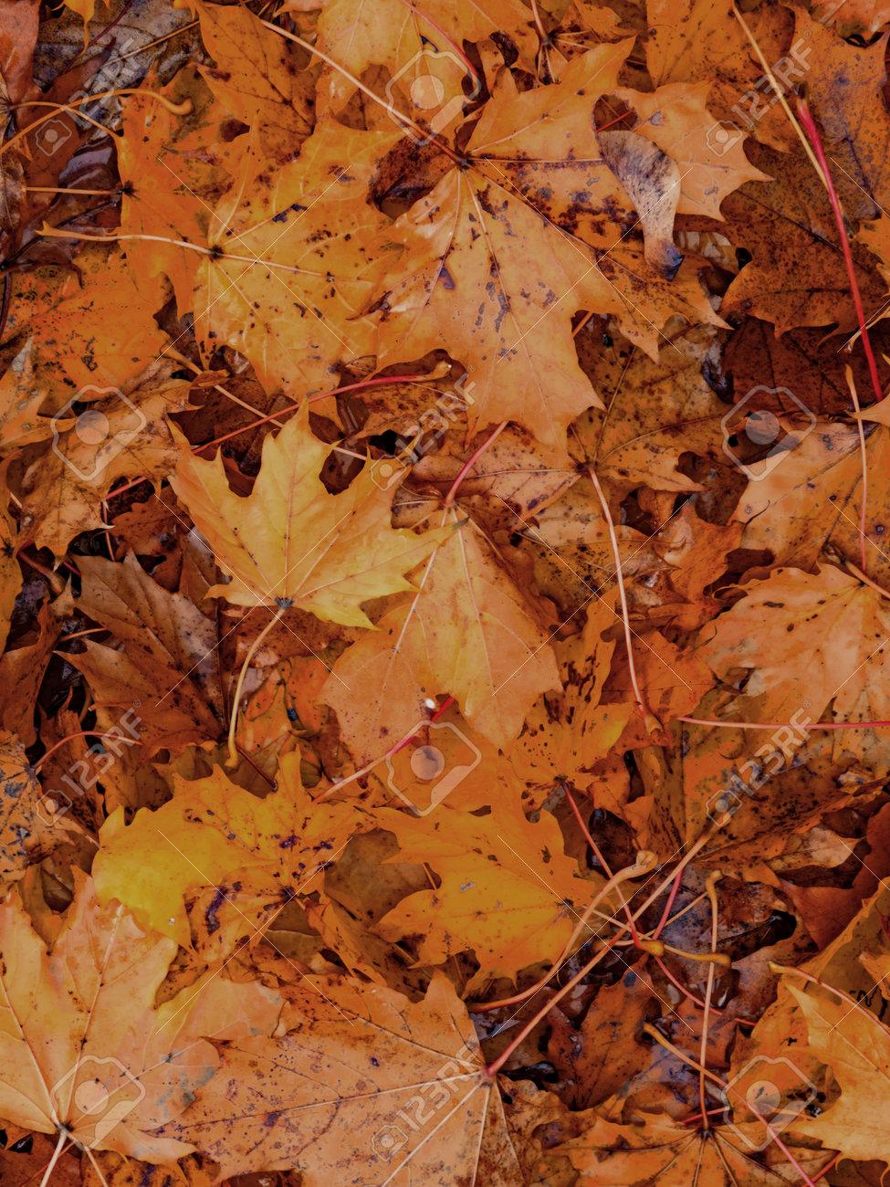 Colorful seasonal autumn background pattern, carpet of fallen maple leaves. - 163004254