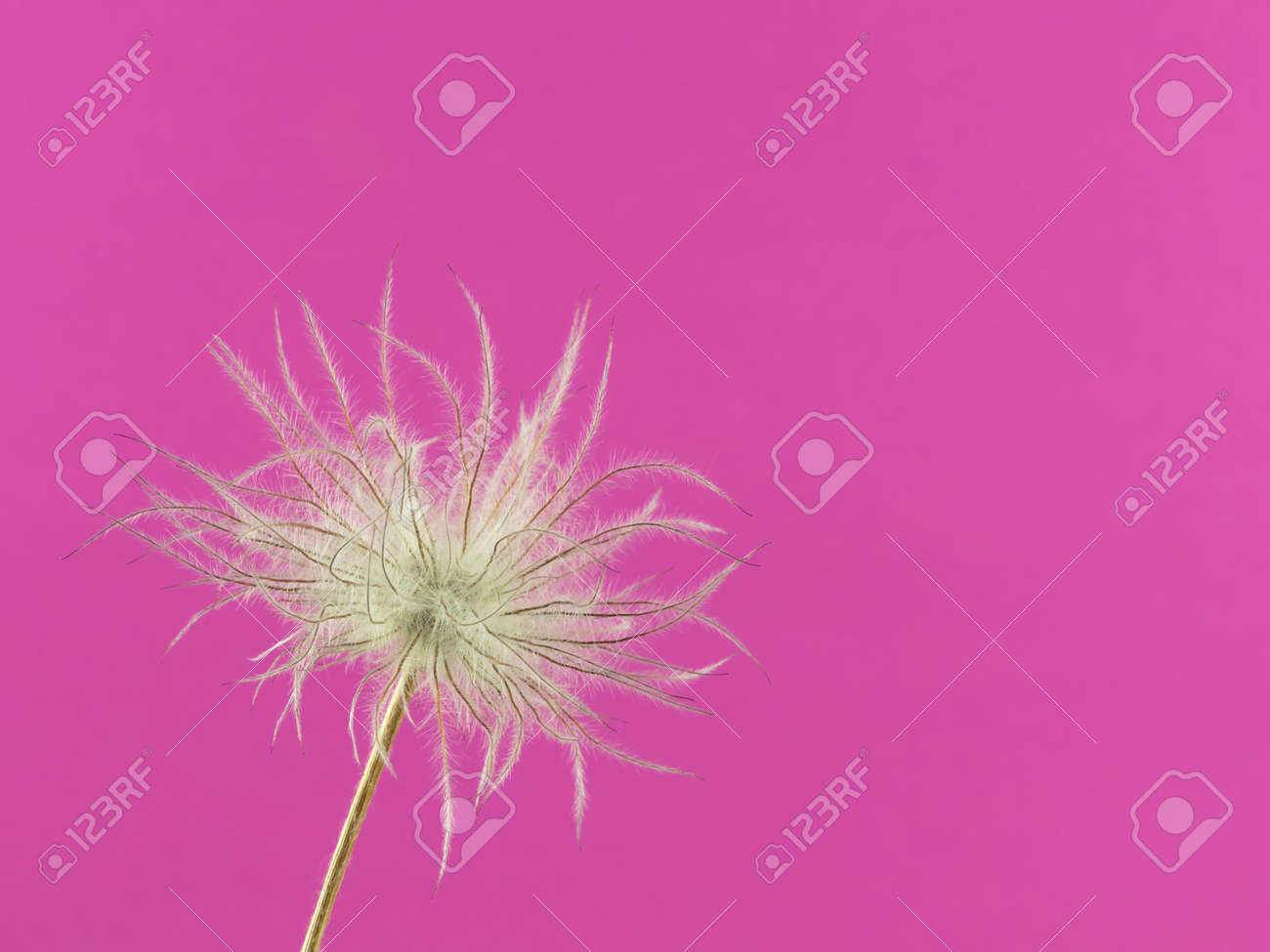 Close-up of the faded flower head of one pasqueflower isolated on pink - 167409925