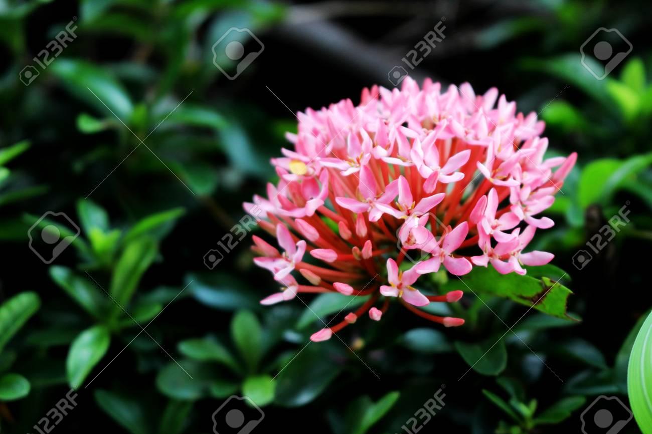Ixora Pink Spike Flower Rey Ixora Floreciendo Ixora Chinensis