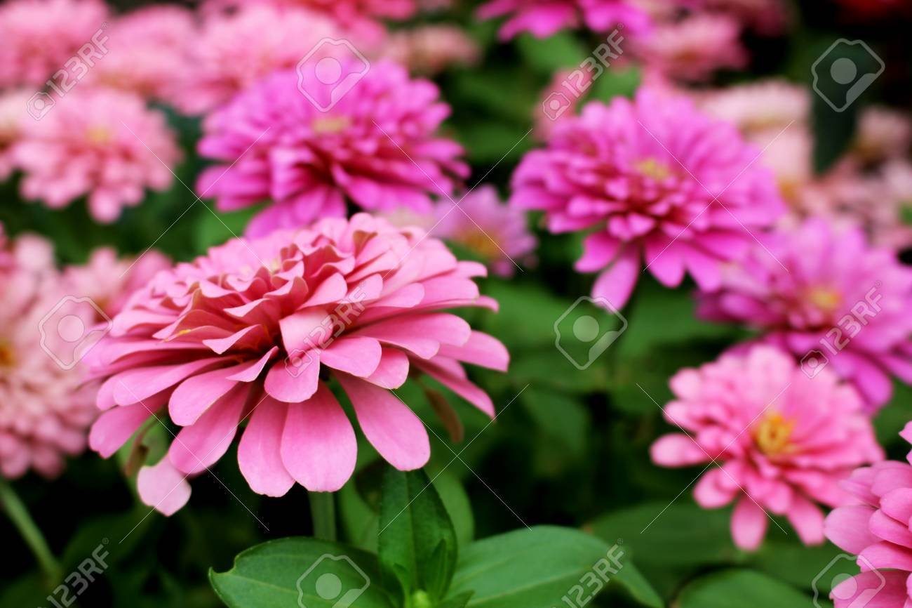 Beautiful Pink Zinnia Elegans Flowers On Wonderful Flowers Background In The Garden For Background From Thailand Stock Photo Picture And Royalty Free Image Image 95407474