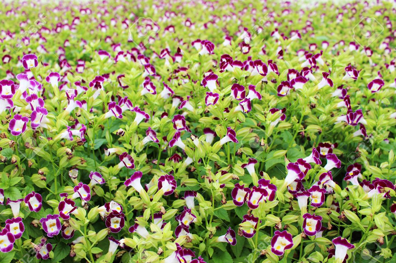 Beautiful Purple Colors Of Small Flowers In Outdoor Garden For Background Or Wallpaper Stock Photo