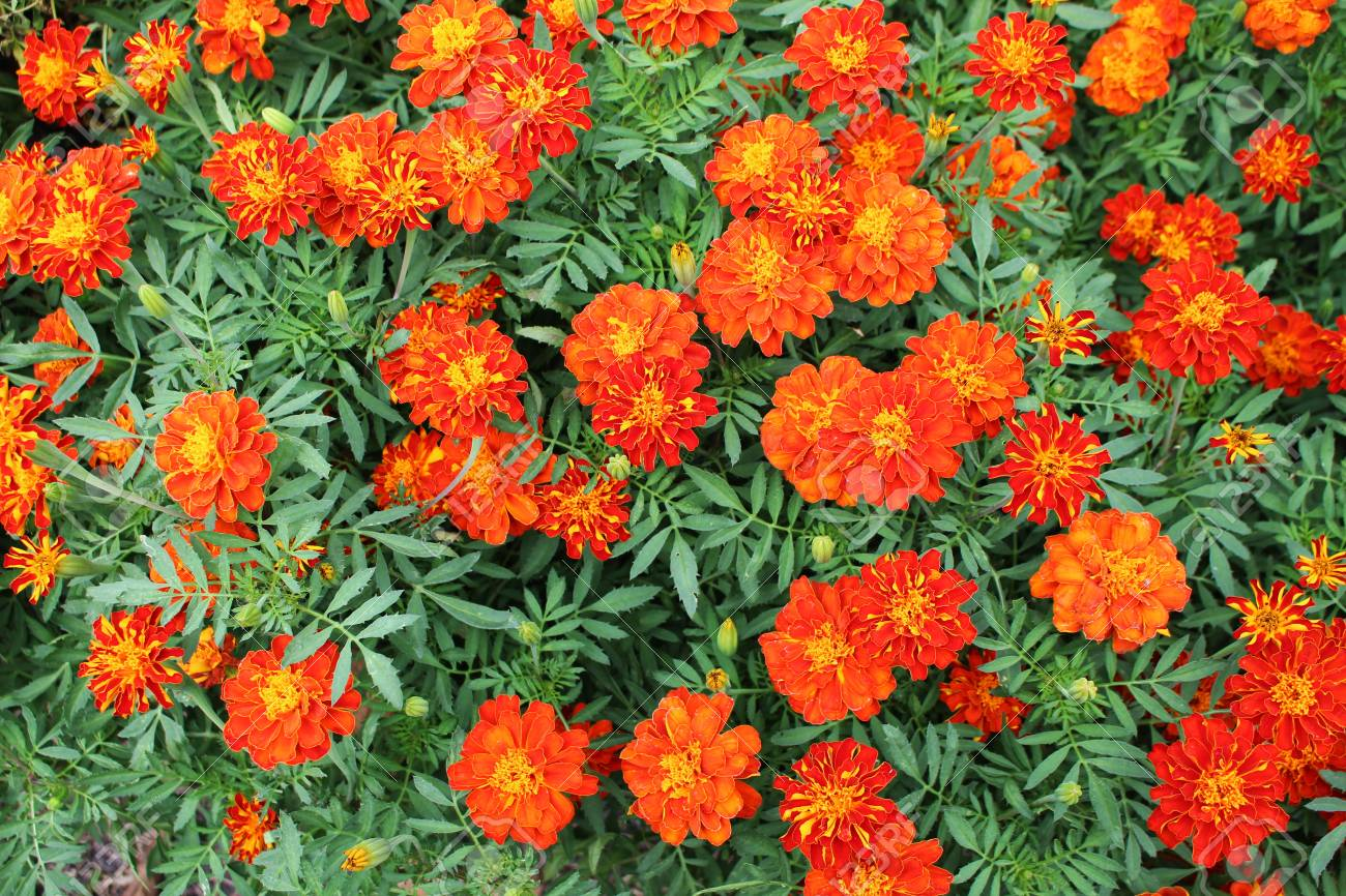 On Top Focus Beautiful Orange And Yellow Colors Of Marigold Flowers