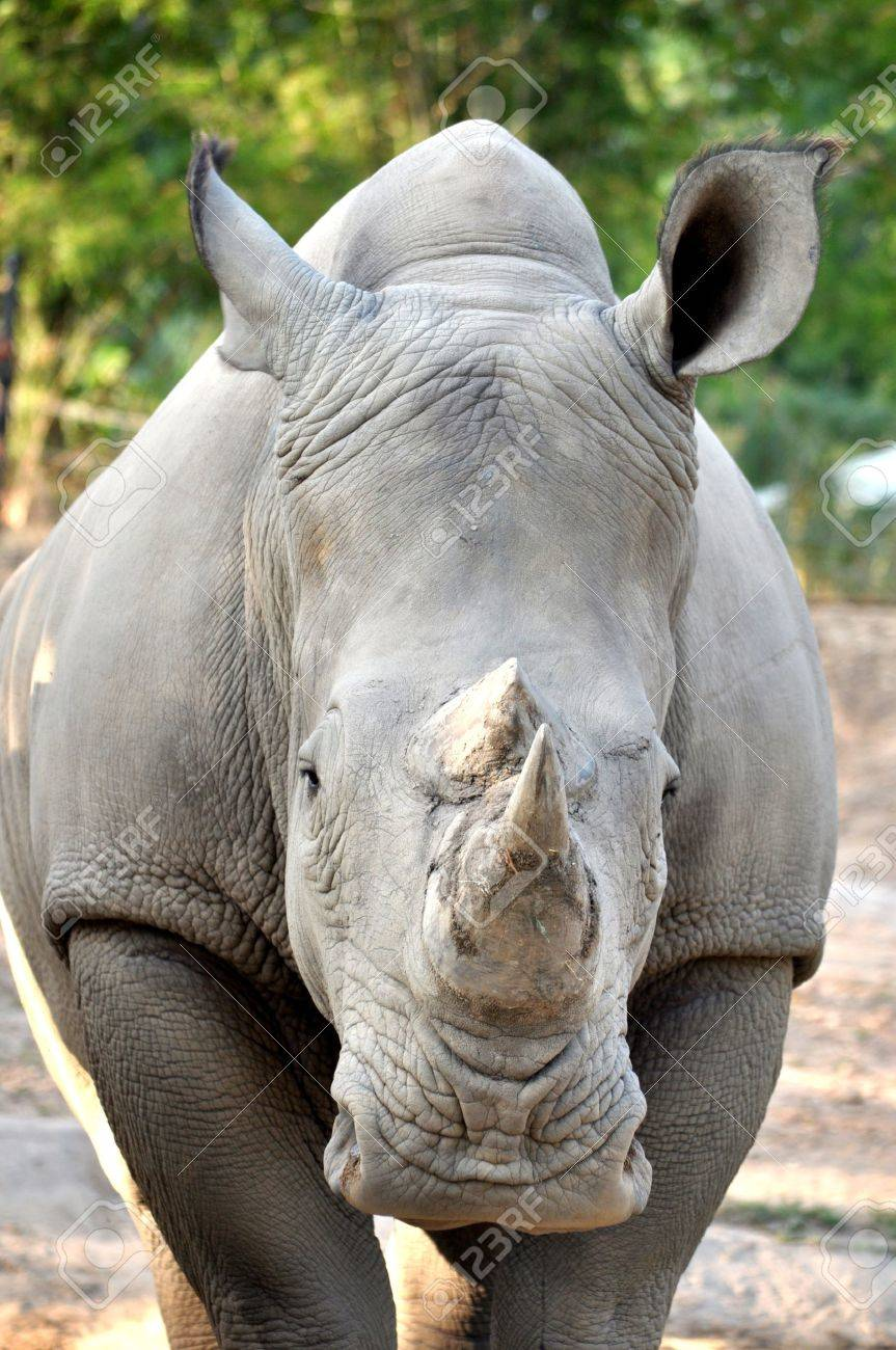 The White or Square-lipped Rhinoceros is the third most massive remaining land animal in the world, after the Elephant and the hippopotamus - 14495156