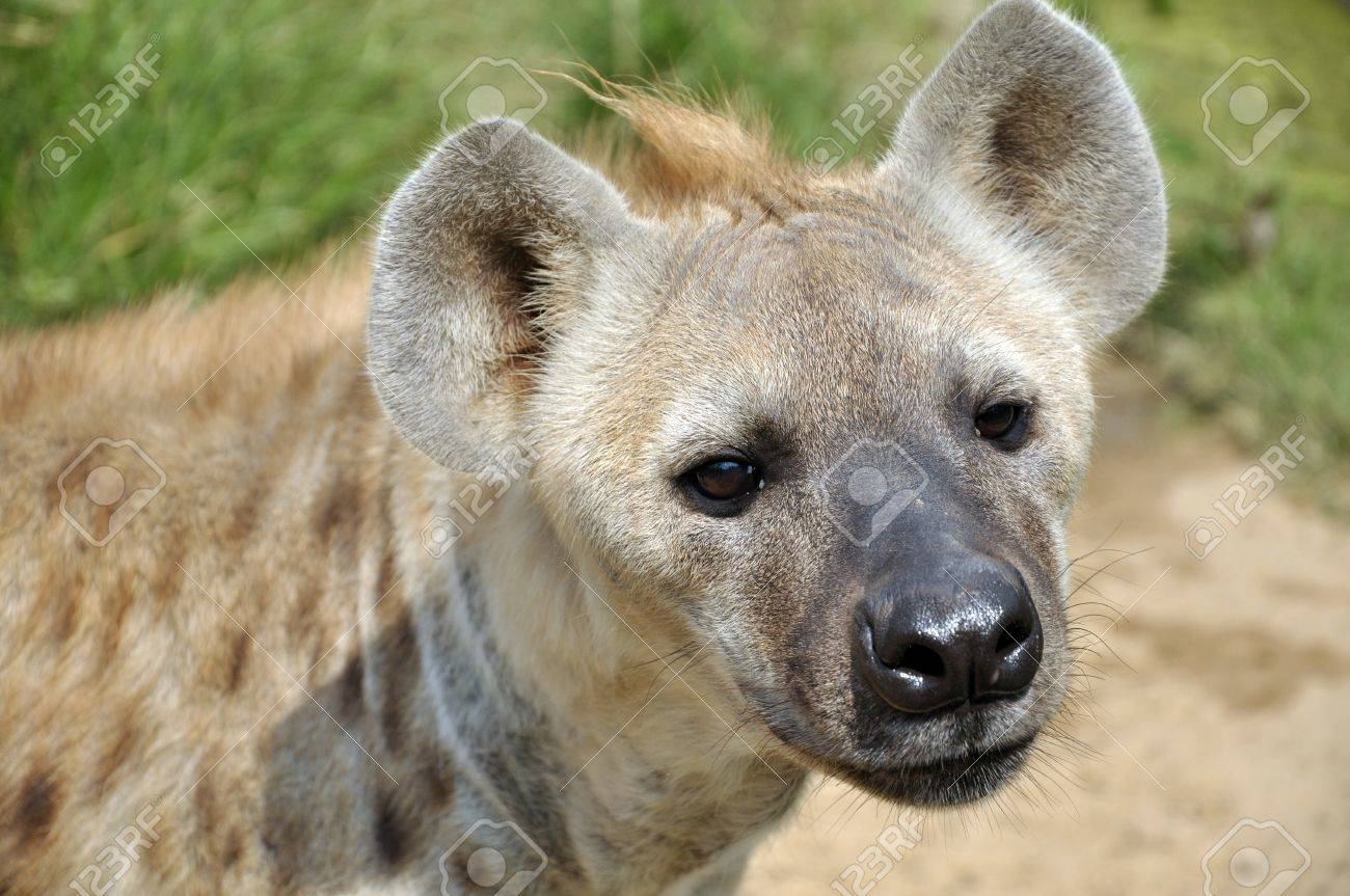 The spotted hyena also known as laughing hyena, is a carnivorous mammal. - 10286151