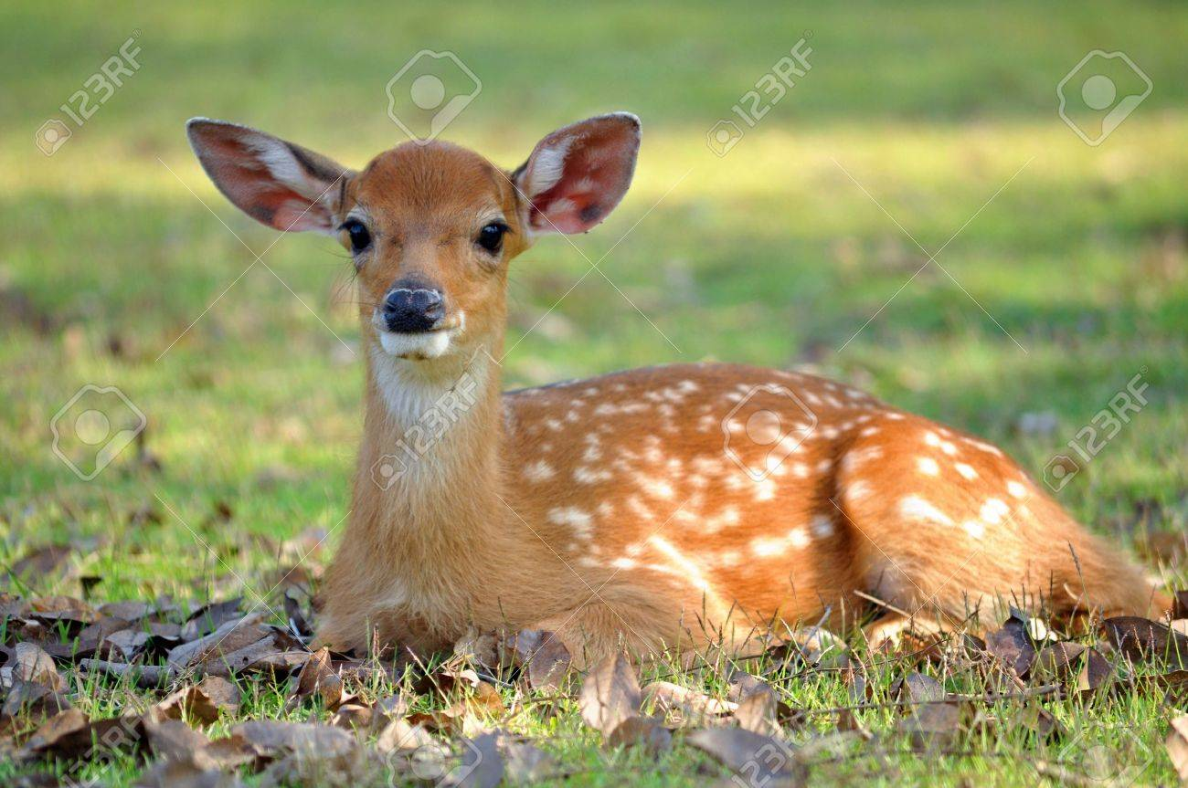 The Sika deer is one of the few deer species that does not lose its spots upon reaching maturity. - 10331617