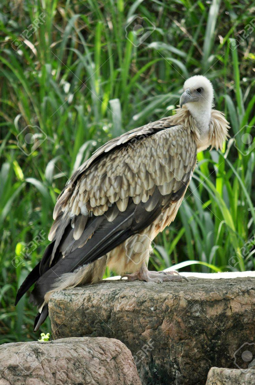 The Himalayan Griffon Vulture is even larger than the European Griffon Vulture. It has a white neck ruff and yellow bill. The whitish body and wing coverts contrast with the dark flight feathers. - 10557163