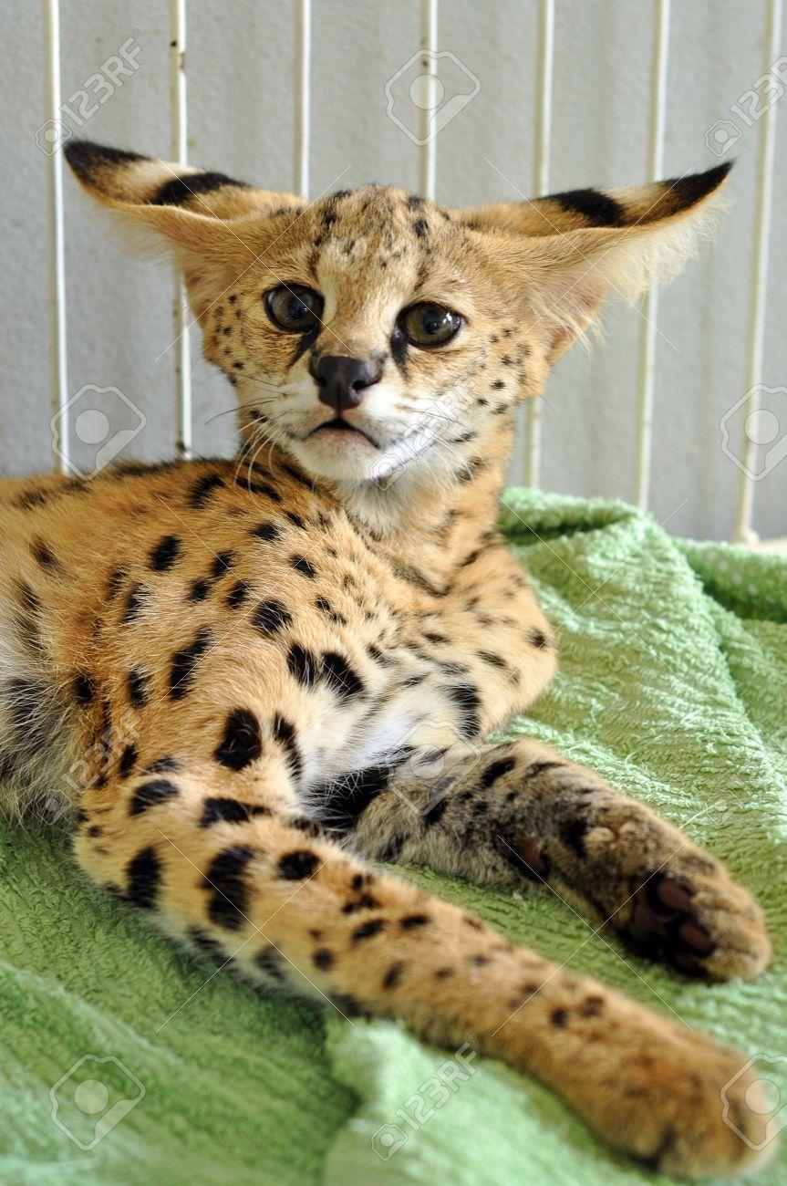 Immagini Stock - Il Serval è Un Gatto Di Medie Dimensioni. E 'un Animale  Forte Ma Snello, Con Gambe Lunghe E Una Coda Piuttosto Corta. Image  10666172.