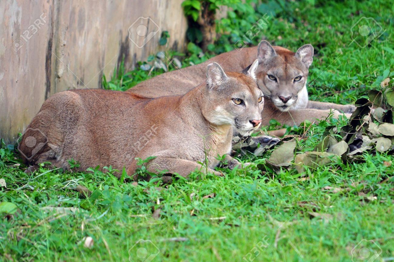 Felinos y salvajes - Página 8 11539592-el-puma-puma-concolor-tambi%C3%A9n-conocido-como-el-puma-le%C3%B3n-de-monta%C3%B1a-gato-mont%C3%A9s-catamount-o-pantera-dependiend