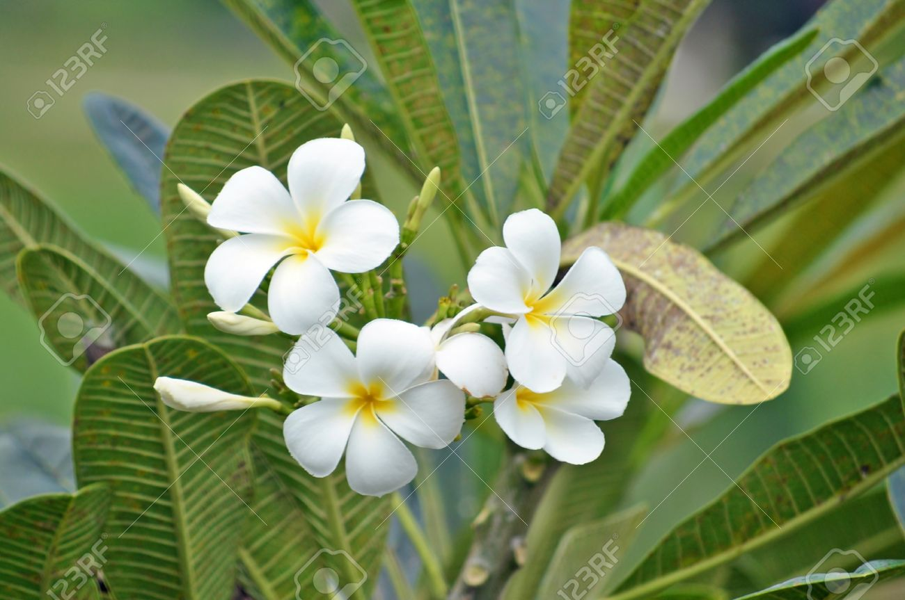 Plumeria Common Name Frangipani Is A Genus Of Flowering Plants
