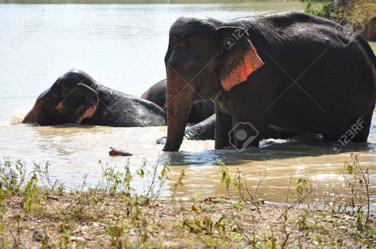 Elephants are the largest living land animals on Earth today. Stock Photo - 12475266