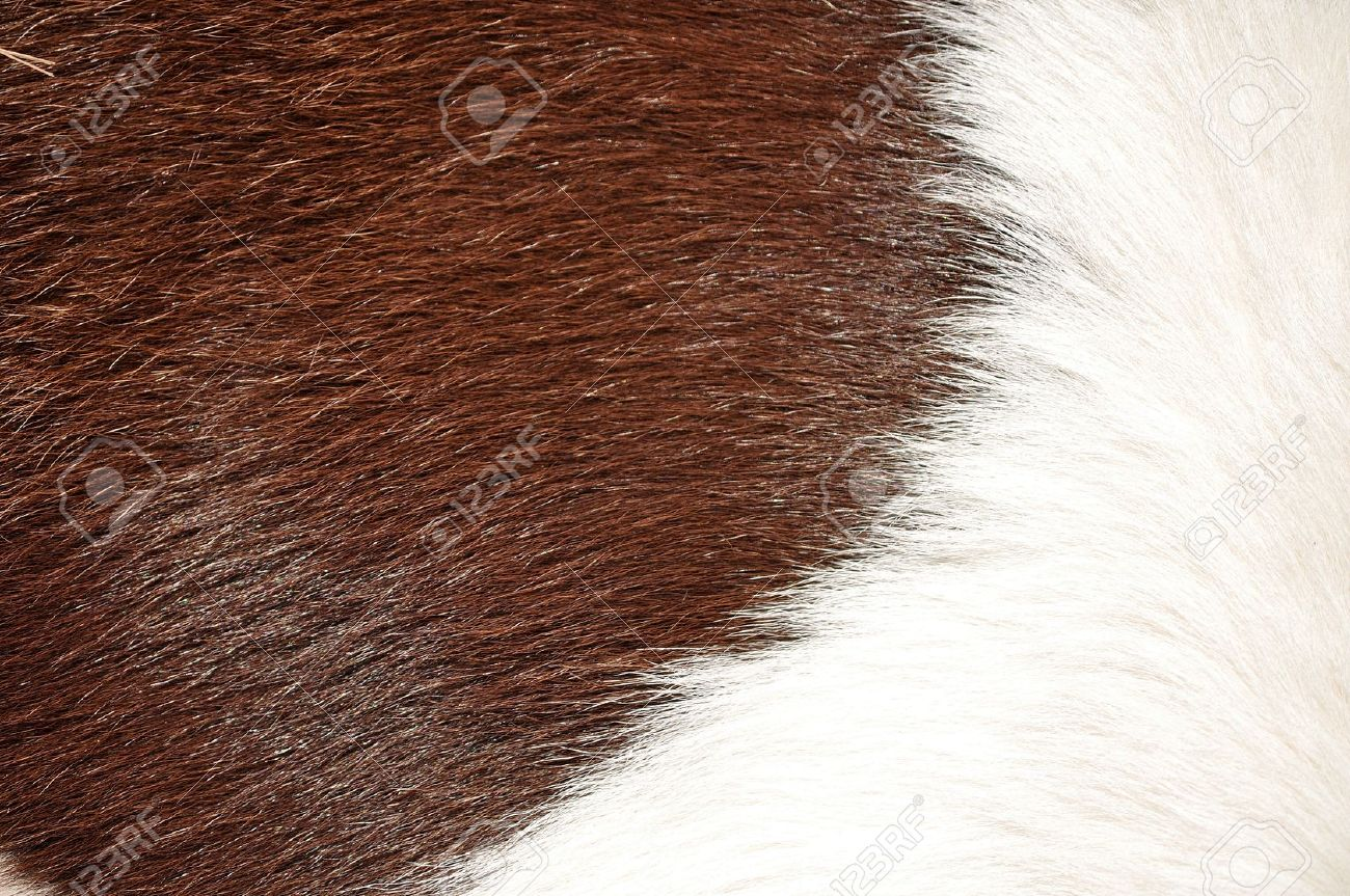 Brown and white hairy texture of cow - 13757649