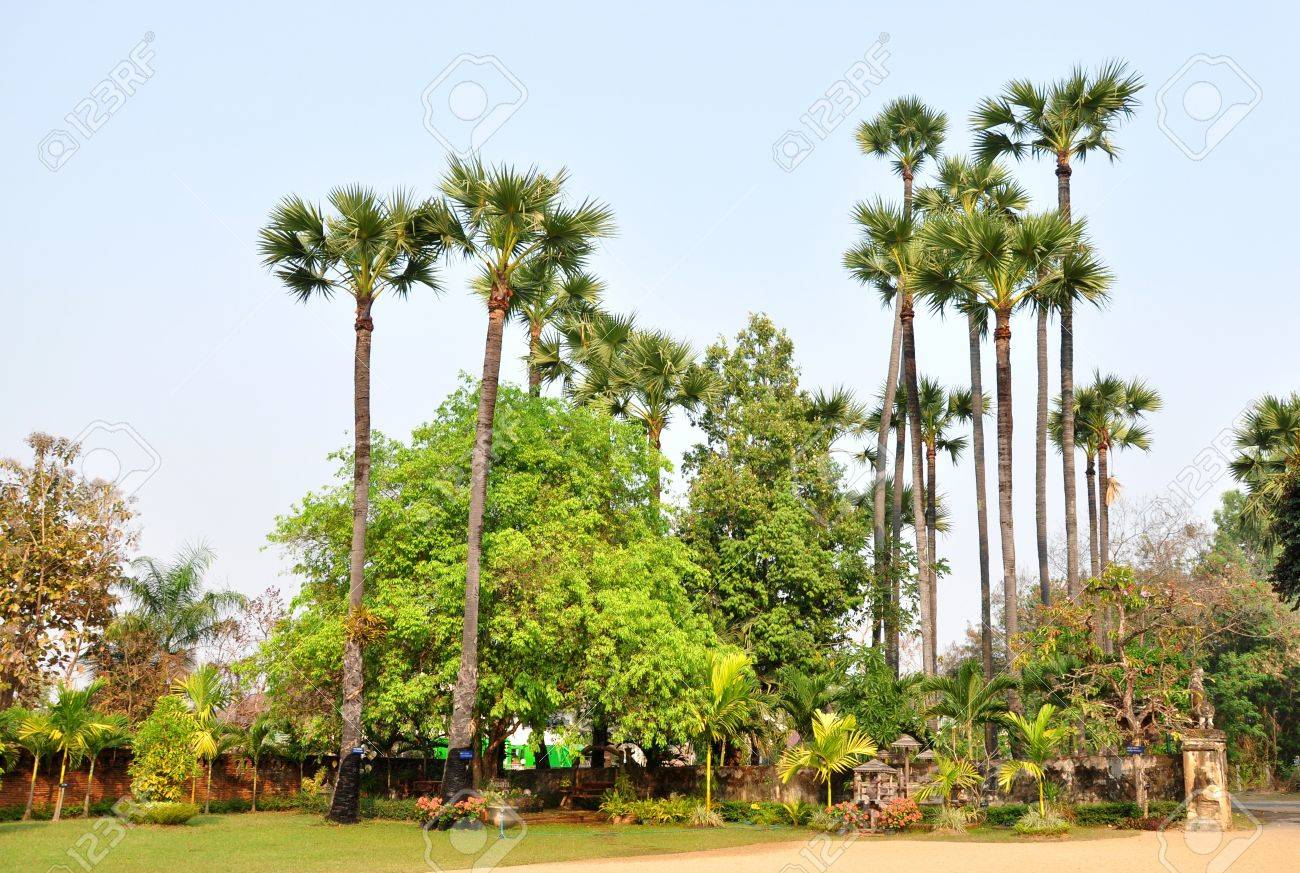 Sugar palm is a robust tree and can live more than 100 years and reach a height of 30 m. Stock Photo - 13966061