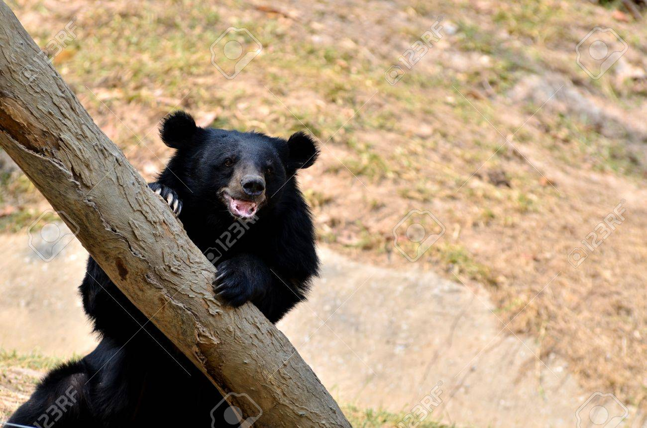 Asian black bears are similar in general appearance to brown bears, but are more lightly built and are more slender limbed. - 14804529
