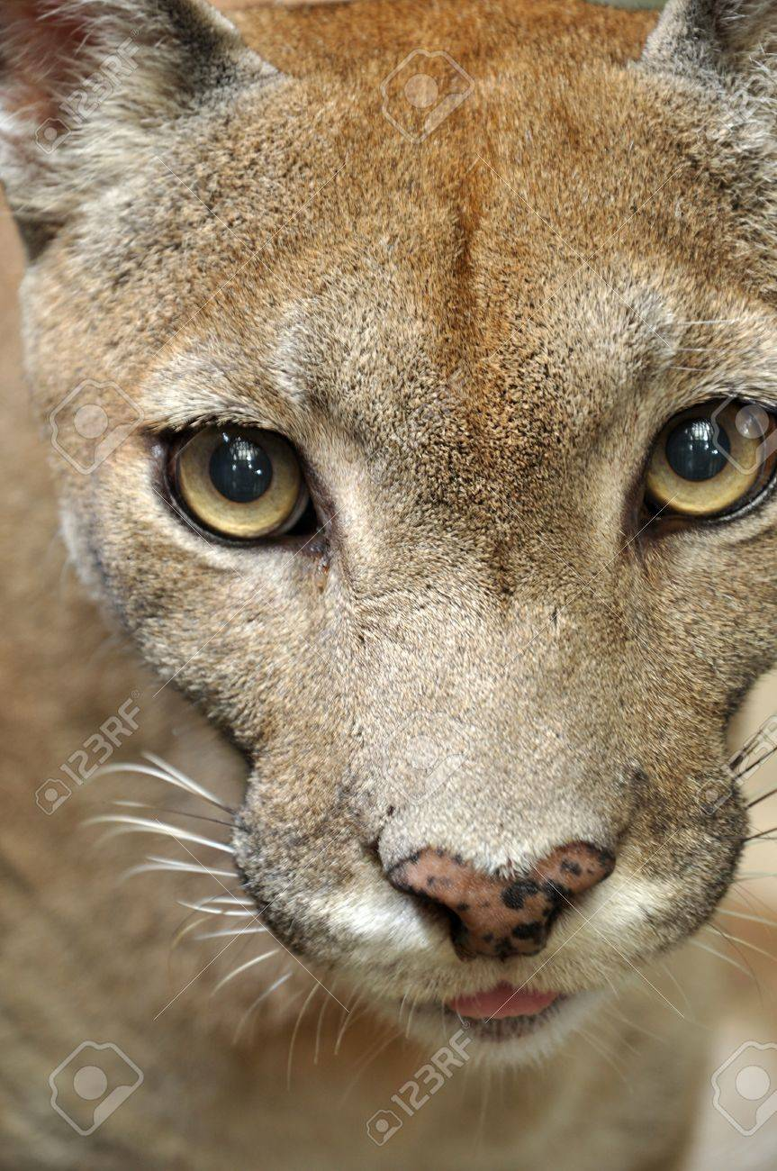 Cougars are slender and agile members of the cat family. - 15818125
