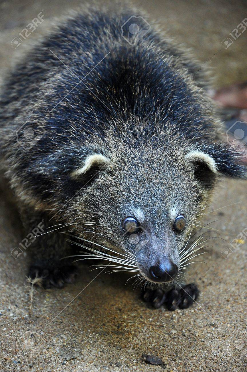 The binturong is nocturnal and sleeps on branches. - 16024002