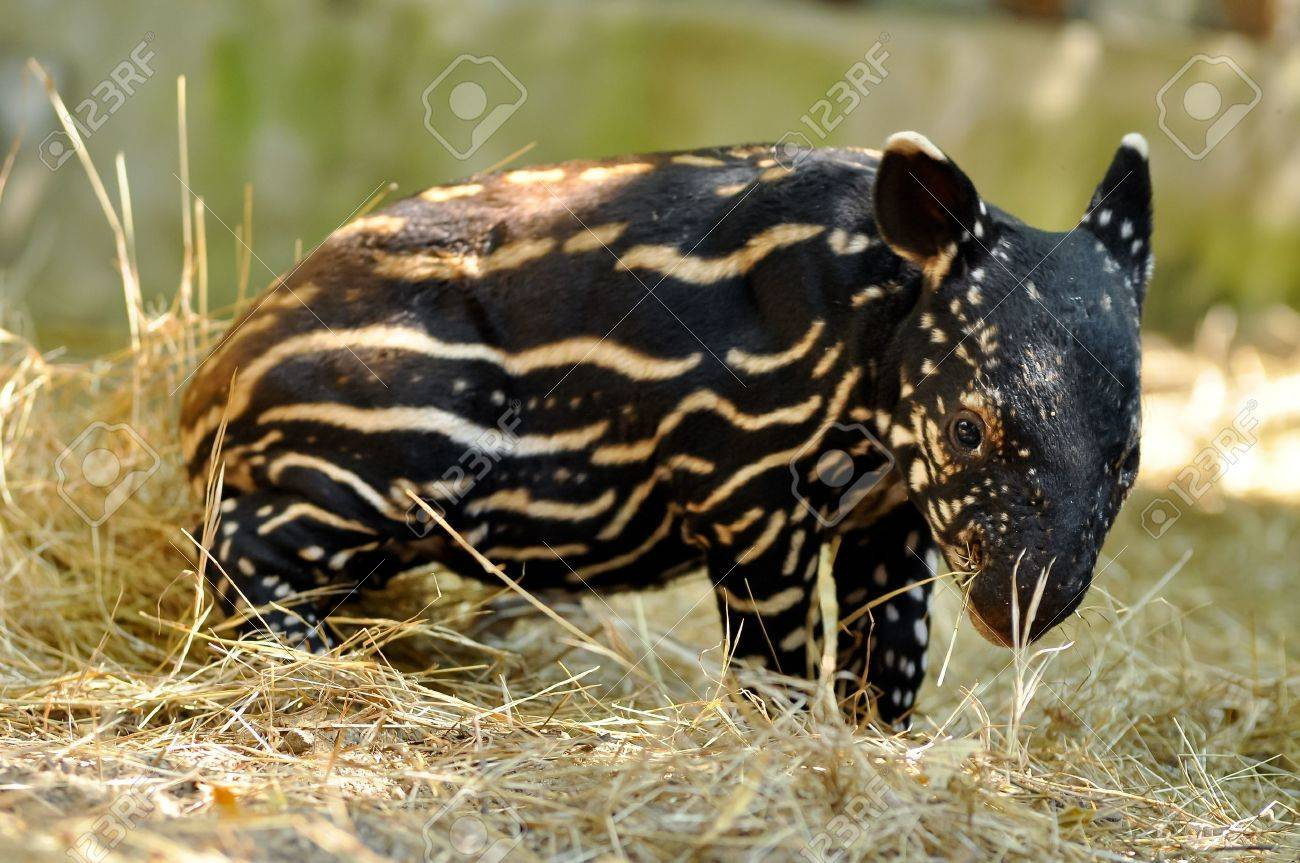 Young tapirs of all species have brown hair with white stripes and spots, a pattern which enables them to hide effectively in the dappled light of the forest. This baby coat fades into adult coloration between four and seven months after birth. - 17956261