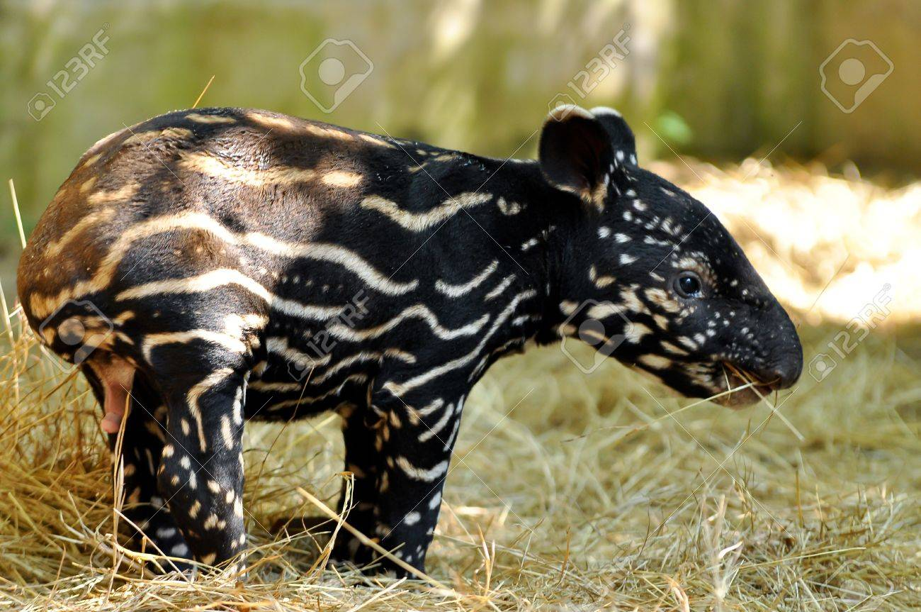 Young tapirs of all species have brown hair with white stripes and spots, a pattern which enables them to hide effectively in the dappled light of the forest. This baby coat fades into adult coloration between four and seven months after birth. - 17956263