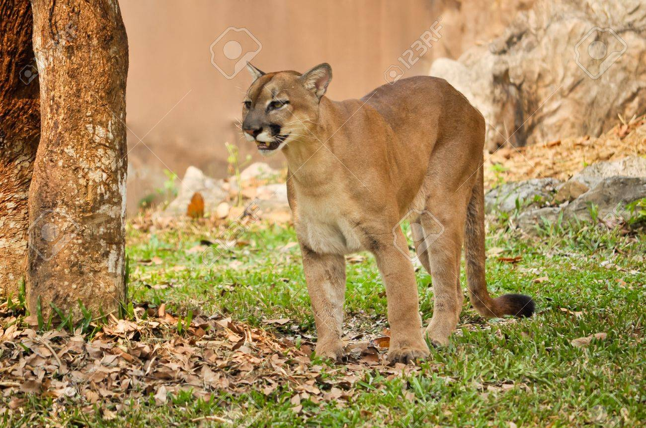 The cougar, also known as the puma - 18595387