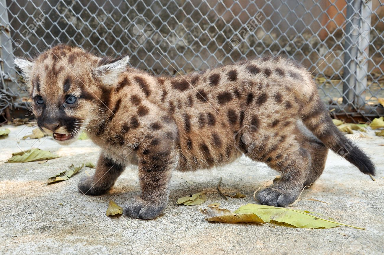 When cougars are born, they have spots, but they lose them as they grow, and by the age of 2 1/2 years, they will completely be gone Stock Photo - 18731048