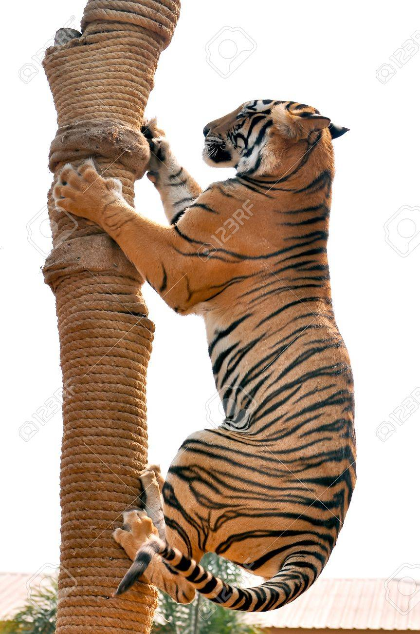 Tigers, like children and dogs, can be taught to modify their behavior through the skilled application of reward and discipline. - 18731165