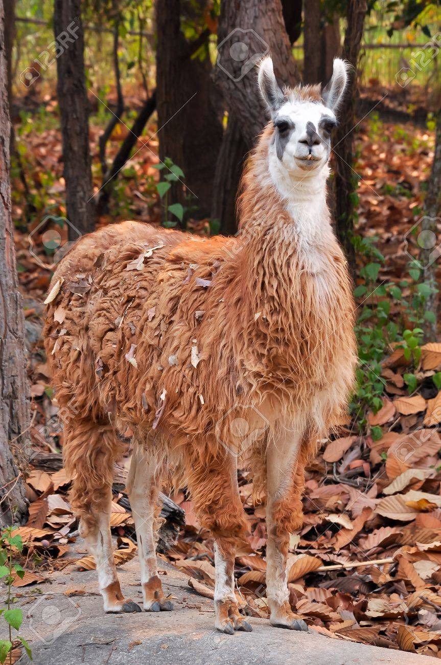 The llama is a domesticated South American camelid, widely used as a meat and pack animal by Andean cultures since pre-Hispanic times - 18878975