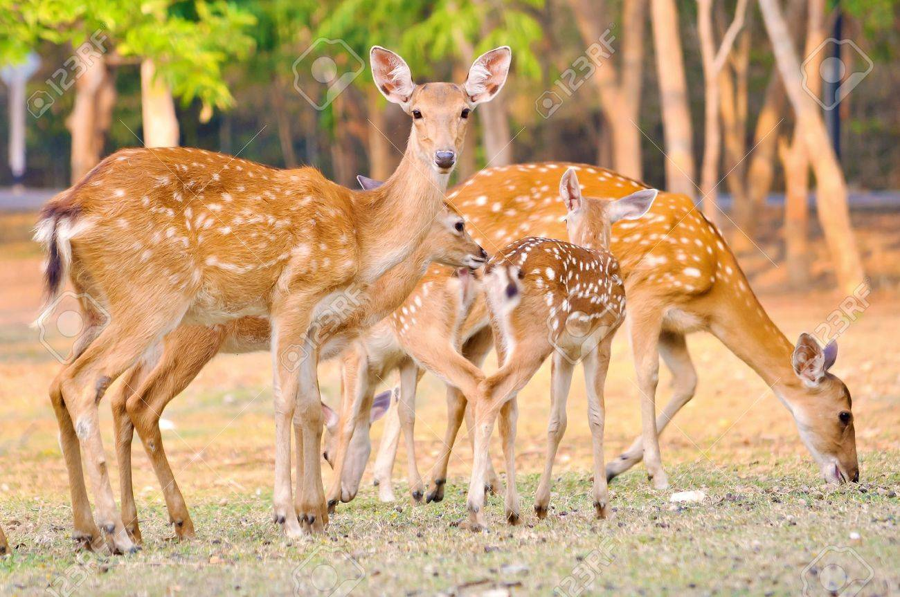 mother and baby sika deer are resting deer when the weather is