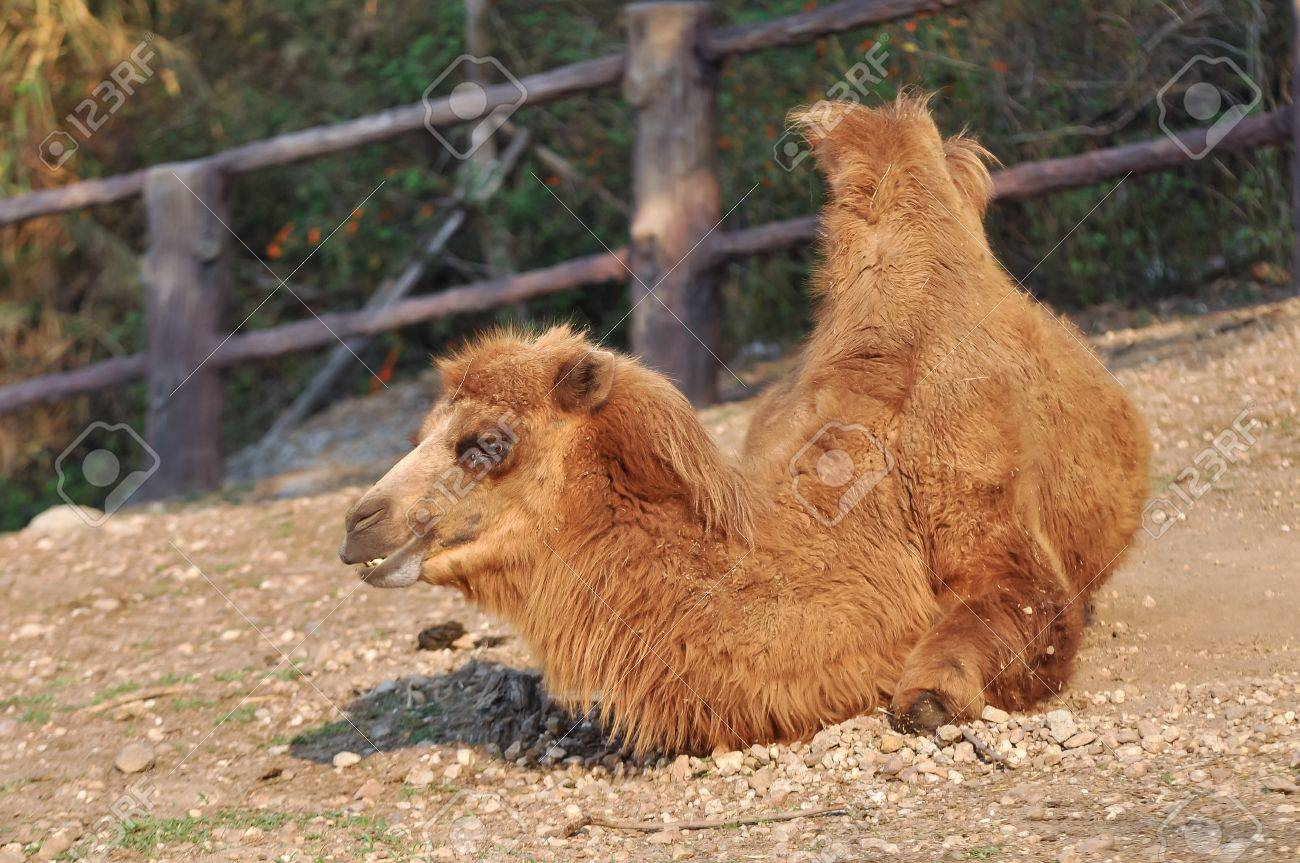 Bactrian Camels Have Two Humps Rather Than The Single Hump Of Their Arabian Relatives Stock