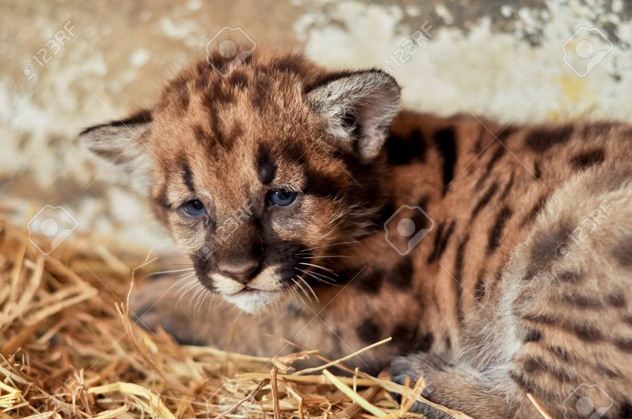 When cougars are born, they have spots, but they lose them as they grow, and by the age of 2 1 2 years, they will completely be gone Stock Photo - 19139601