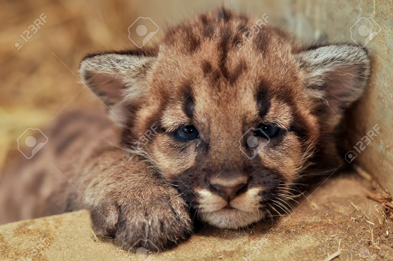 When cougars are born, they have spots, but they lose them as they grow, and by the age of 2 1 2 years, they will completely be gone Stock Photo - 19139603