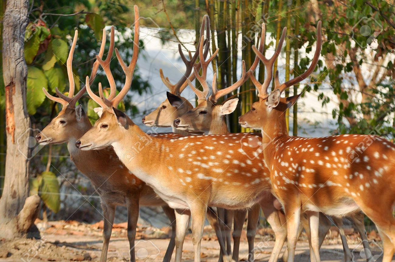 Japanese deer having a brown coat, spotted with white in summer, and a large white patch on the rump - 19317898