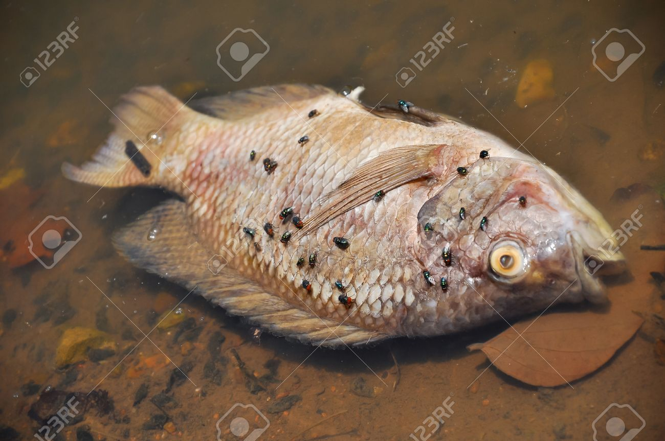 Flies are swarming fish floating dead in the lake. - 21221211