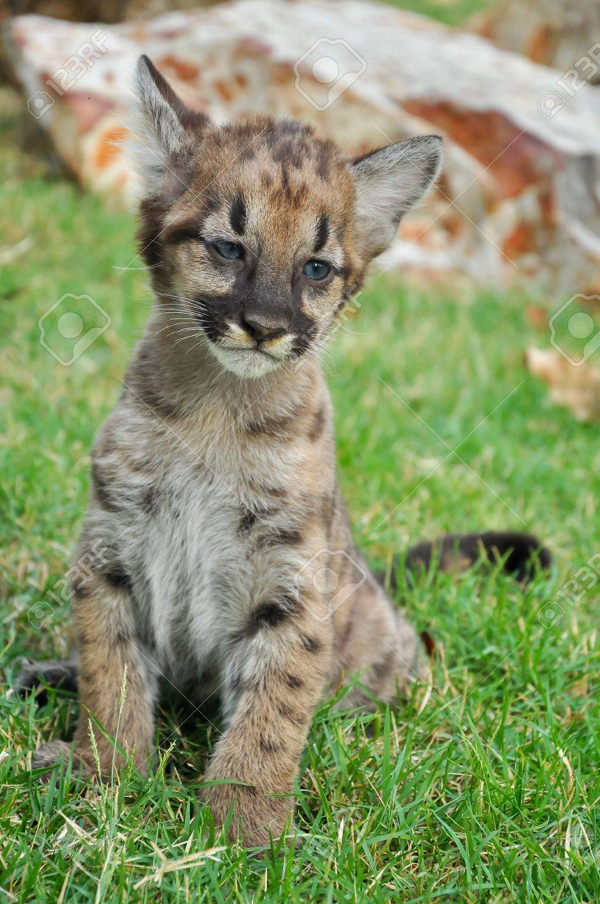 c502b06f5904 ... fade as it grow up. Baby Puma and kitten are very similar But baby puma  is a point along body and