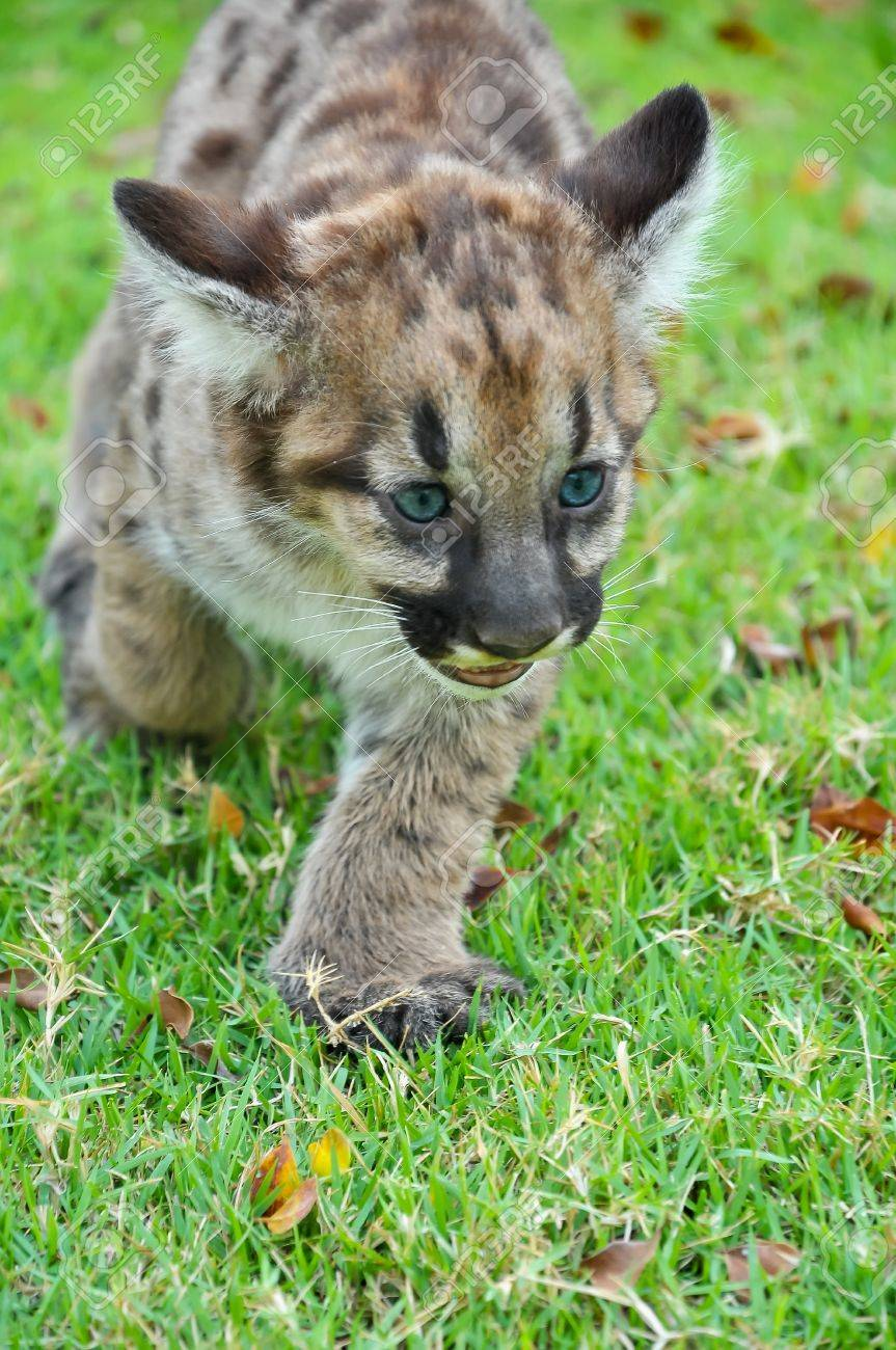 30f02a6ce0e7 Baby Puma and kitten are very similar. But baby puma is a point along body