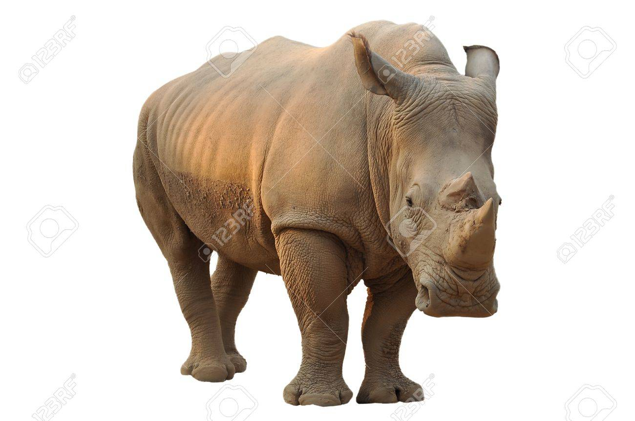 White rhino has a wide mouth used for grazing and is the most social of all rhino species - 21471773