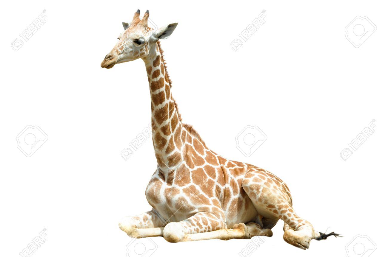 A giraffe's habitat is usually found in African savannas, grasslands or open woodlands - 21737479