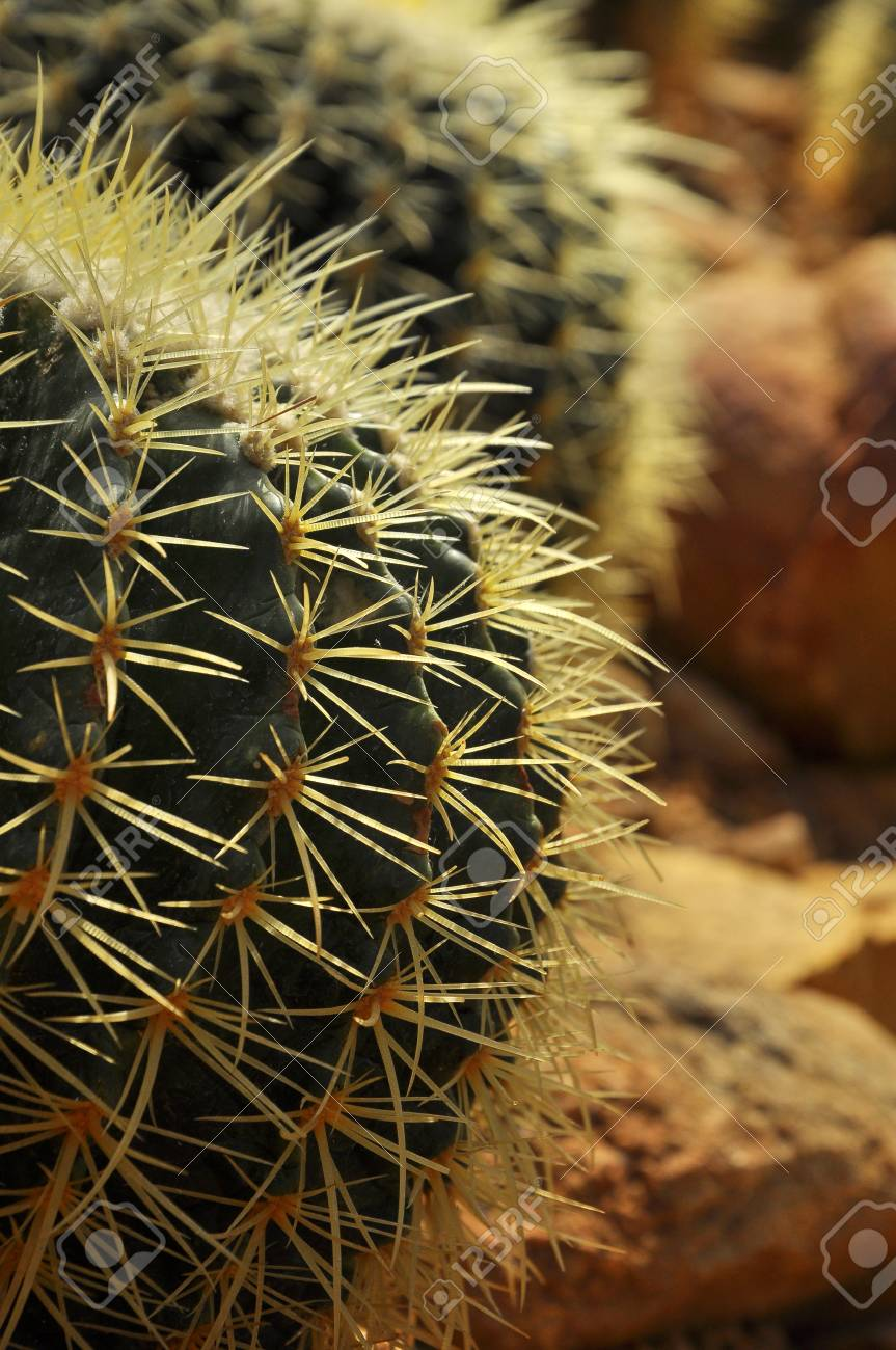 Barrel Cactus Buds Typically Start To Bloom In April With A Bright