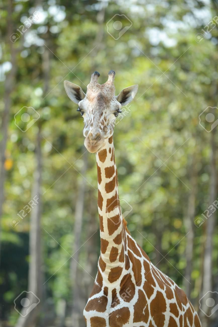 giraffe wiederkäuer