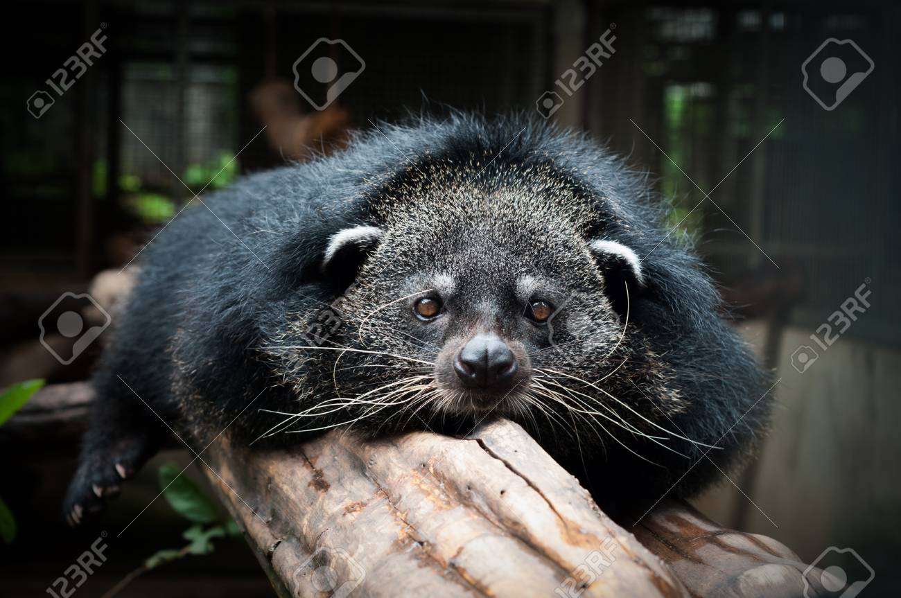 Binturongs spend most of their time in the trees - 93599810