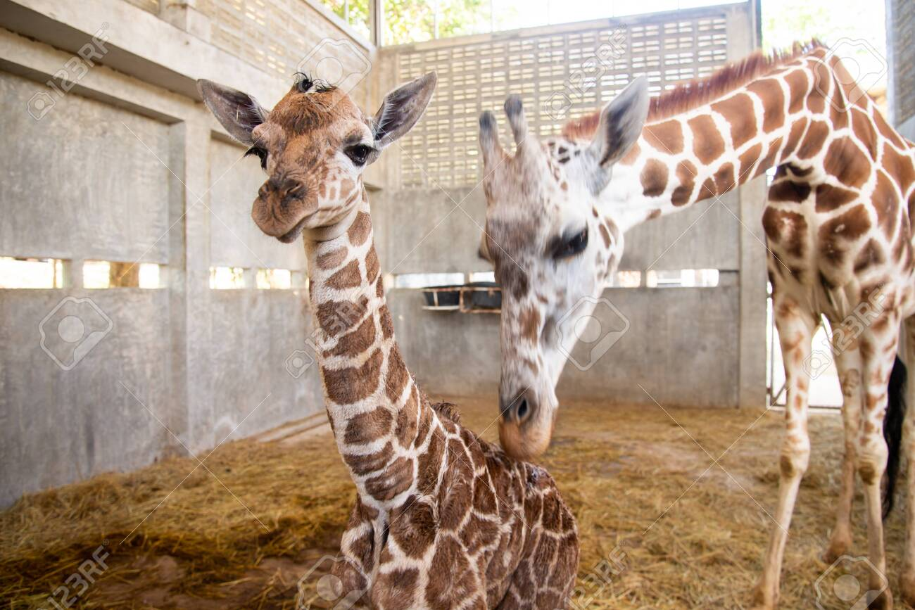 Baby giraffe is giving birth on the land. The giraffe mother is looking after her baby closely during the first birth. - 132797704