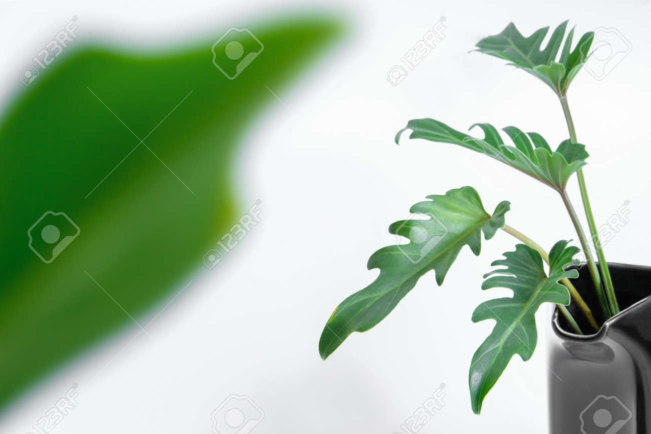 Green Philodendron Xanadu popular foliage adorned and decorated on white background. - 168610332