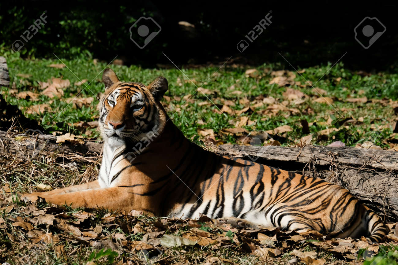 Tiger resting on the grass - 168610333