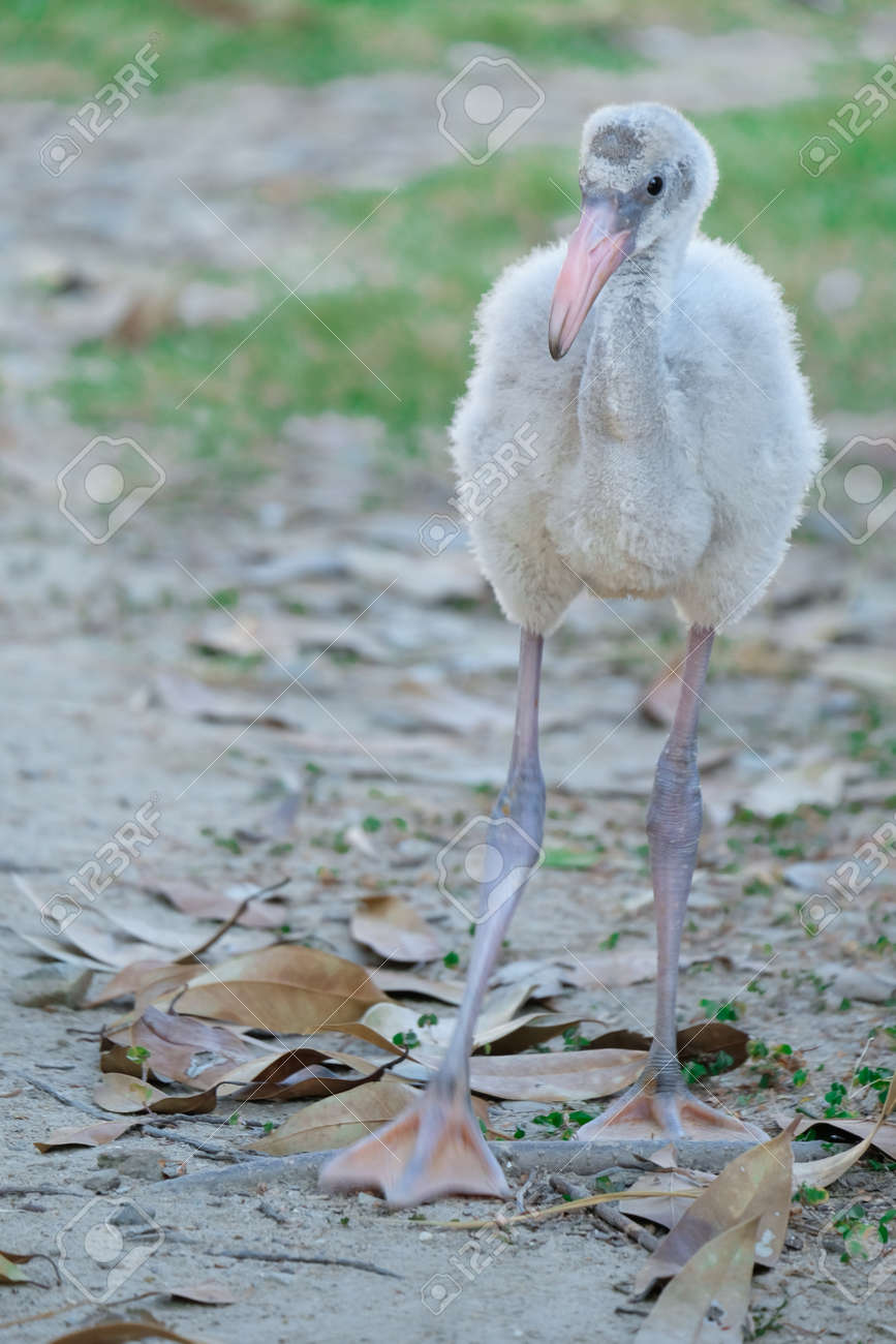 Flamingos are born with gray plumage, which gradually turn pink as their food contains canthaxanthin, such as brine shrimp and blue-green algae. - 168610334