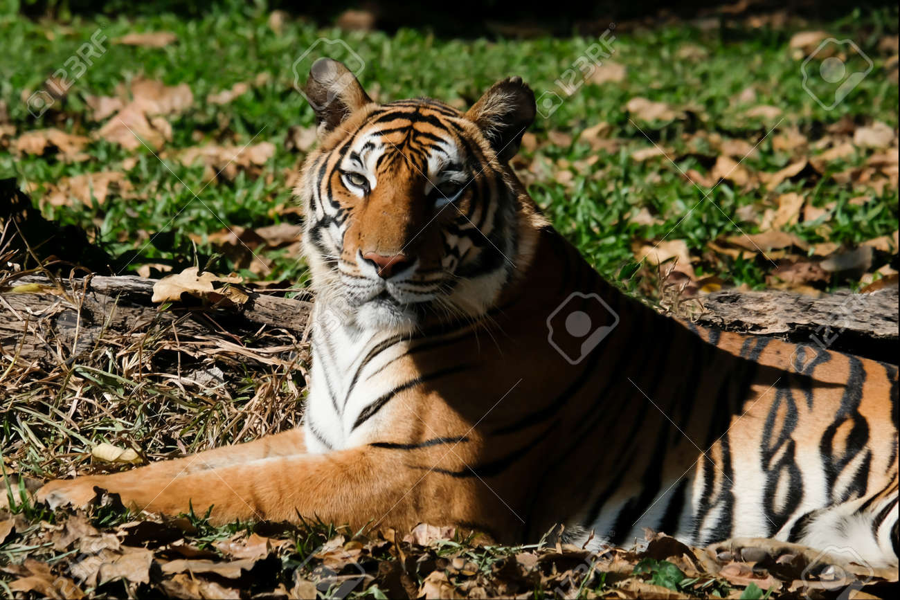 Tiger resting on the grass - 168610214
