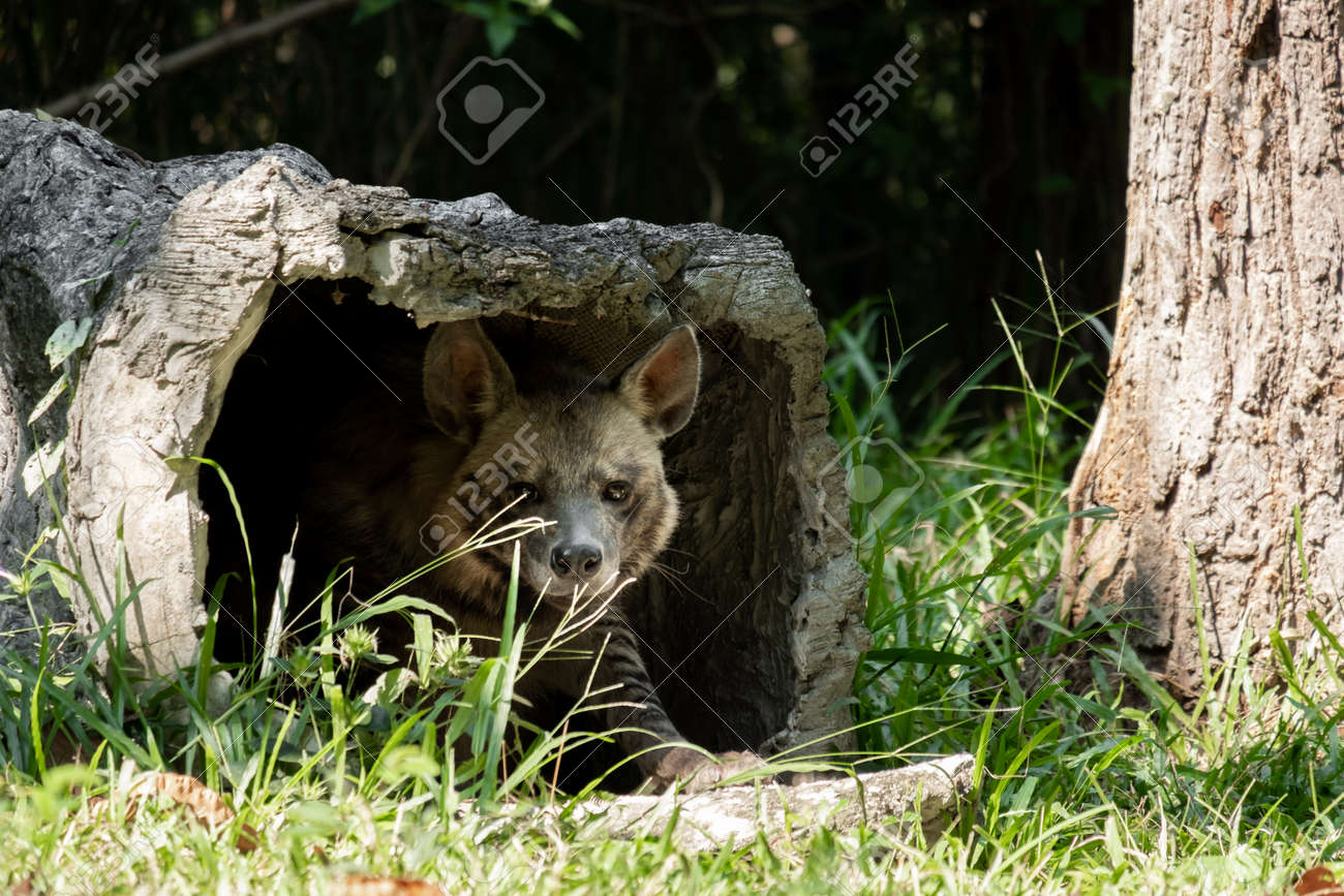 Striped hyenas have a broad head with dark eyes, a thick muzzle, and large, pointed ears. - 168610225