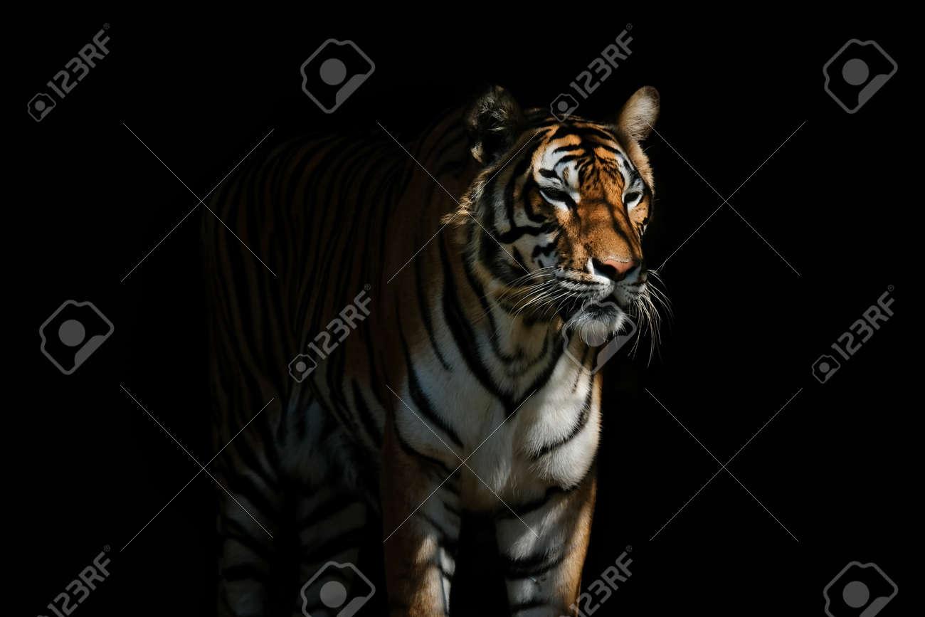 Tiger on black background - 168610239