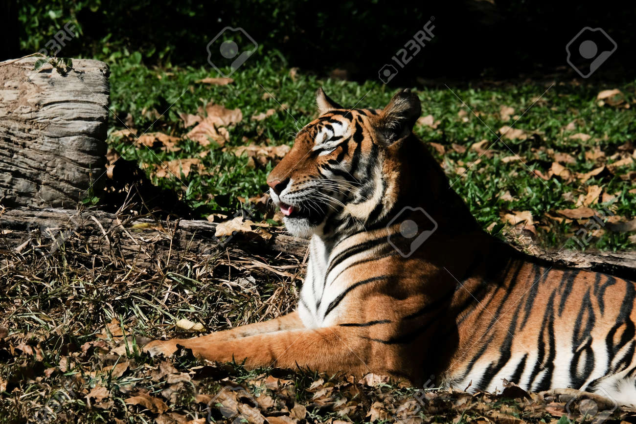 Tiger resting on the grass - 168610157
